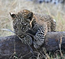Leopard Cub Playing by Kevin Jeffery