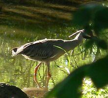 Yellow-Crowned Night Heron Stalking by Navigator
