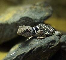 Lizard by spredwood