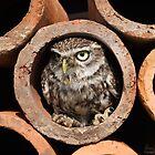 Little Owl by spredwood