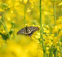 swallowtail in the rape  seed field  by davvi