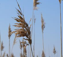 Sea Oats in Spring by K Cassidy