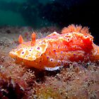 Gettin' close to a Nudi. by yook