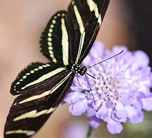 Zebra Butterfly  by Saija  Lehtonen