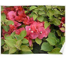 White Buds in Bright Red Flowers Surrounded by Dark Green Plants Poster