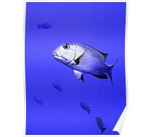 Bigeye Emperor Fish in the Red Sea Poster
