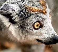 Crowned Lemur Looks Left by SerenaB