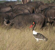 Beauty amongst the beasts - Saddle billed stork by Kevin Jeffery