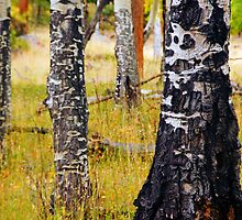 A Study Of Aspen Textures by John  De Bord Photography