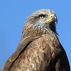 Hawk by avdw