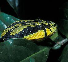 Sri Lankan Green Pit Viper, Trimeresurus trigonocephalus, Sri Lanka by Michal Cerny