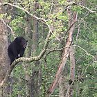 Black Bear In A Tree by J. L. Gould