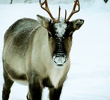 Reindeer in Lapland by Elizarose