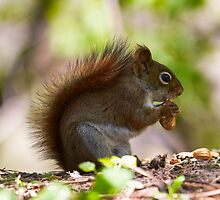 Red Squirrel by withacanon