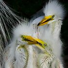 Great White Egret Chicks by noffi