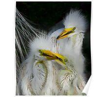 Great White Egret Chicks Poster