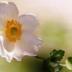 Anemone hupehensis by jules572