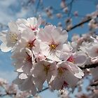 Cherry Blossom Japan by Craig Baron