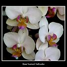 White Orchids by Rose Santuci-Sofranko