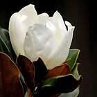 White Magnolia by Joy Rensch