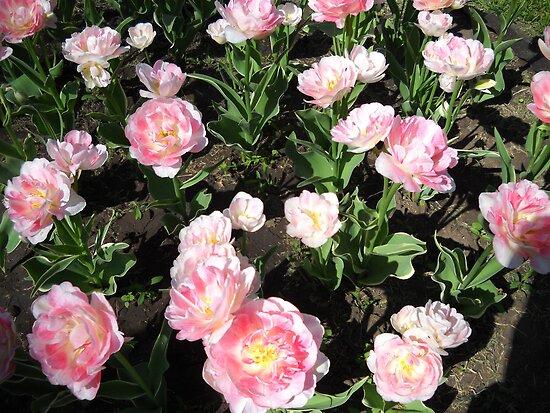 Amazing Tulips. by Vitta