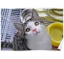 Grey and White Kitten Poster