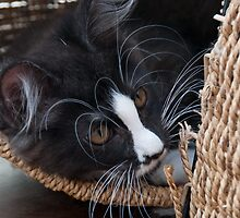 Maine Coon in a basket by elainejhillson