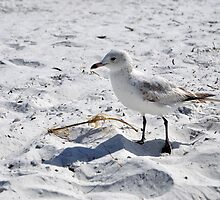"Floridian Seagull ""Fort Myers Beach, Florida"" by Hasiguntia"