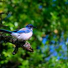 Scrub-Jay by Diego  Re