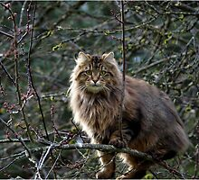 Maine Coon Tabby Cat by Val  Brackenridge