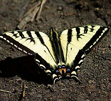 Xunthus Swallowtail Butterfly by Klaus Girk