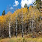 Golden Aspen by BCkat