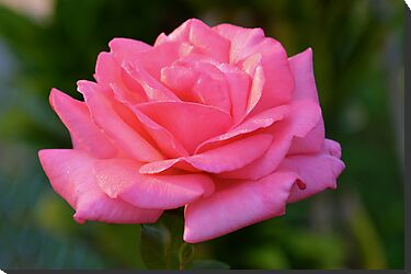 Sun-kissed pink rose by Ben Waggoner