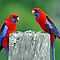 Crimson Rosellas. Brisbane, Queensland, Australia. by Ralph de Zilva