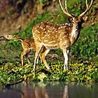 Spotted deer at a water hole by Om Yadav