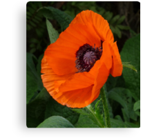 A Little Poppy While waiting for Afternoon Tea Canvas Print