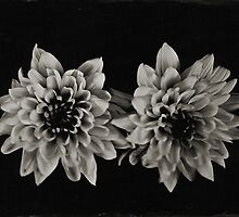 wet plate collodion ... chrysanthemums  by Deborah Parkin
