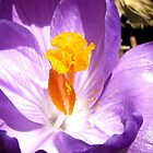 Purple crocus macro by hummingbirds