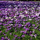 PURPLE GROUND by andysax