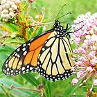 Monarch butteryfly on wild milkweed by SusieG