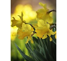 The Spring Daffodils Photographic Print