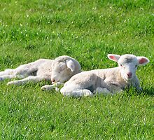 two lambs by Steve