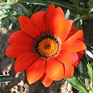 Close Up of a Beautiful Terracotta Gazania Flower by taiche