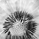 Dandelion by maxblack