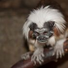 White-Capped Tamarin by Timothy Meissen