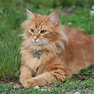 Little Orange Tabby by DebbieCHayes