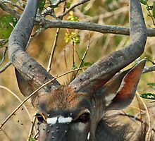 Young male Nyala by jozi1