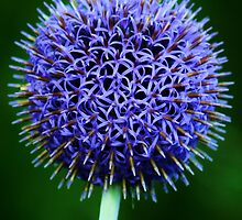 Blue Thistle by Julie Bishop
