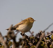 Willow Warbler by Jon Lees
