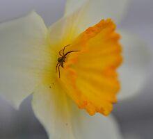 Spider on Daffodil by mltrue
